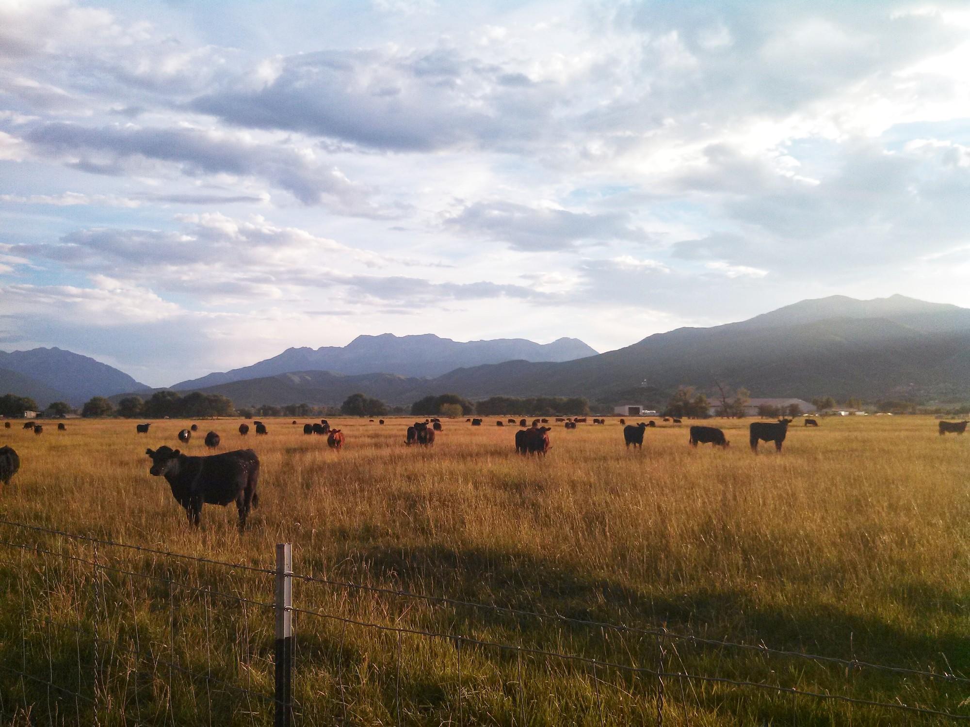 Northfields cows evening